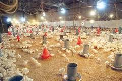 تعیین سقف قیمتی برای فروش مرغ